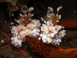 Double trouble ..... twin Harlequin Shrimp Bali Olympus 7070 by Brad Cox 